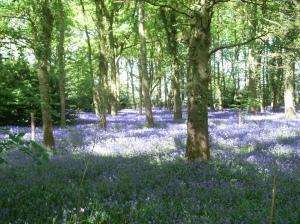 Bluebell Woods2