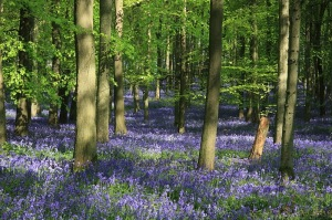 Bluebells May 2014 (14)